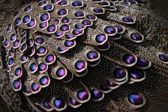 Pavão-faisão, bicalcaratum cinzentos de Polyplectron, detalhe do close-up das penas cor-de-rosa da plumagem, as cinzentas e as az imagem de stock royalty free