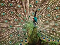 Pavão indiano Foto de Stock