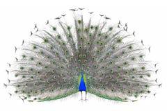 Pavão indiano masculino bonito que indica as penas de cauda isoladas no fundo branco, vista dianteira Imagem de Stock