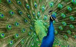 Pavão Jeweled Imagem de Stock