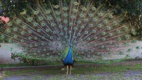 Pavão masculino azul com as penas estendidas filme