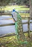 Pavão masculino em uma cerca Feathers Brilliant Bright do parque imagem de stock