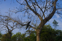 Pavão na árvore Imagens de Stock Royalty Free