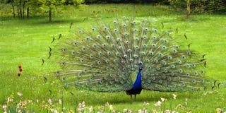 Pavão na bagatela do parque perto de Paris, France Foto de Stock Royalty Free