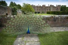 Pavão na exposição completa nas terras do castelo de Herstmonceux Imagem de Stock