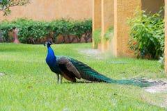 Pavão no gramado em um quintal do hotel Imagens de Stock Royalty Free