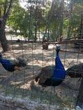 Pavão no jardim zoológico Foto de Stock Royalty Free