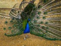 Pavão no jardim zoológico na região de Kaluga (Rússia) Imagem de Stock