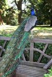 Pavão no parque Fotos de Stock Royalty Free