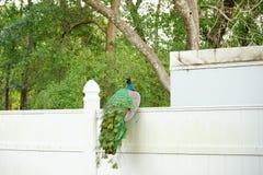 Pavão no parque estadual das molas de Weeki Wachee Foto de Stock Royalty Free