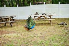 Pavão no parque estadual das molas de Weeki Wachee Fotografia de Stock
