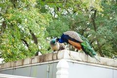 Pavão no parque estadual das molas de Weeki Wachee Imagens de Stock