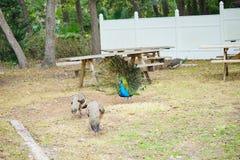 Pavão no parque estadual das molas de Weeki Wachee Imagem de Stock Royalty Free