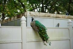 Pavão no parque estadual das molas de Weeki Wachee Foto de Stock