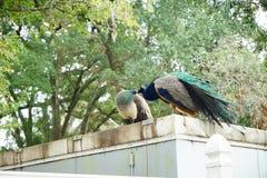 Pavão no parque estadual das molas de Weeki Wachee Fotos de Stock