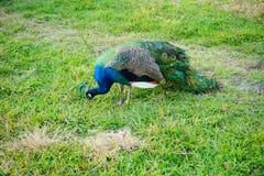 Pavão no parque estadual das molas de Weeki Wachee Fotos de Stock Royalty Free