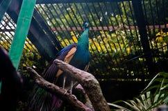 Pavão no Tóquio do jardim zoológico de Ueno Foto de Stock Royalty Free