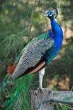Pavão orgulhoso impressionante do animal de estimação que está na porta da cerca da exploração agrícola que mostra cores vívidas Fotos de Stock