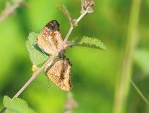 Pavão Pansy Butterfly imagens de stock
