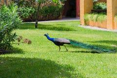 Pavão que corre em um quintal do hotel Imagem de Stock