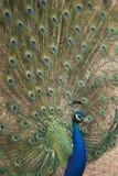 Pavão que indica a plumagem imagens de stock