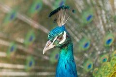 Pavão que mostra a plumagem bonita na estação de cobertura com pão ralado imagem de stock royalty free