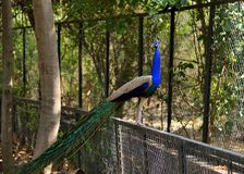 pavão que senta-se em uma cerca do ferro em um jardim zoológico fotos de stock