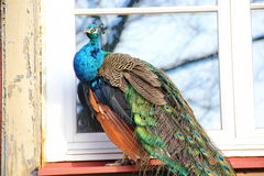 pavão que senta-se na janela Imagens de Stock