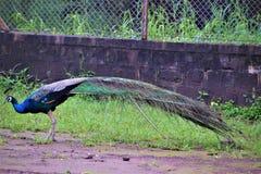 Pavão real do pássaro fotos de stock royalty free