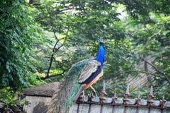 Pavão real do pássaro fotografia de stock royalty free