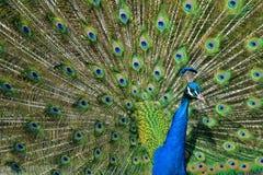 Pavão Tailfeathers Imagens de Stock Royalty Free