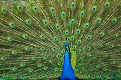 Pavão Tailfeathers Foto de Stock Royalty Free