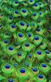Pavão Tailfeathers Imagens de Stock