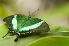 Pavão verde Swallowtail imagem de stock royalty free