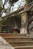 Pavões coloridos em um jardim Fotos de Stock