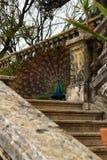 Pavões coloridos em um jardim Fotografia de Stock Royalty Free