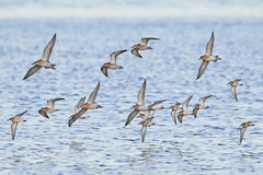 Pavões-do-mar e dunlins em voo Imagem de Stock Royalty Free