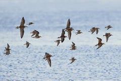 Pavões-do-mar e dunlins em voo Imagens de Stock