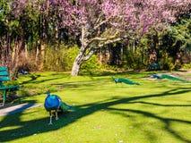 Pavões e árvore de cereja Imagem de Stock Royalty Free