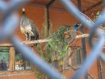 Pavões no jardim zoológico Fotografia de Stock
