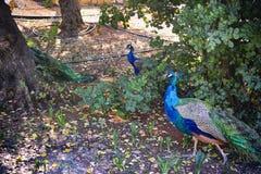 Pavões no parque Foto de Stock Royalty Free