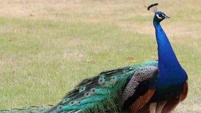Pavanement du paon masculin en parc banque de vidéos