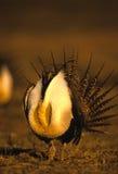 Pavanement mâle de grouse sage Images libres de droits