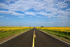 Paved road traveling through the sunflower fields in Colorado. Paved highway traveling through the sunflower fields in Colorado with puffy clouds in the blue sky Royalty Free Stock Photo