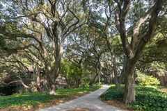 Paved trail lined up with old live oak trees. In the campus of University of California, Berkeley Stock Image