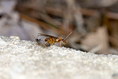 Pavement ant queen. A pavement ant queen on a rock in New Jersey Royalty Free Stock Photos
