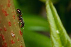 Pavement ant on sumac Royalty Free Stock Photography