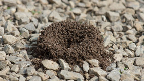 Pavement Ants Anthill Stock Photo