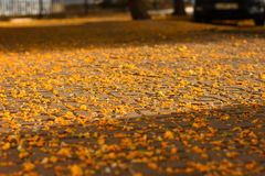 Pavement of a city walkway or park covered with colorful yellow fallen flowers, in sunlight rays Stock Photos