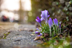 Pavement Crocus. The advent of Springtime. The early Crocus flowers show their beauty beside the road Stock Photos
